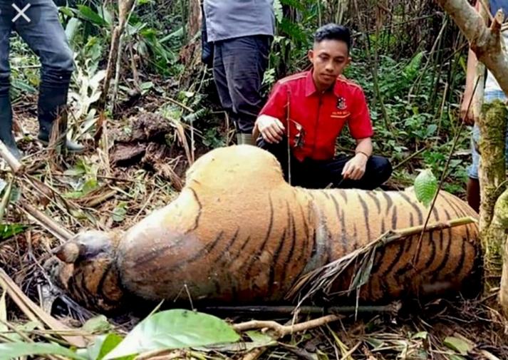 Forum HarimauKita: Pemburu Satwa Makin Leluasa Saat Wabah COVID-19