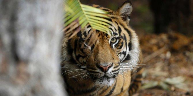 Jejak Harimau Sumatera di Perbatasan Pekanbaru, Warga Diminta Hati-hati